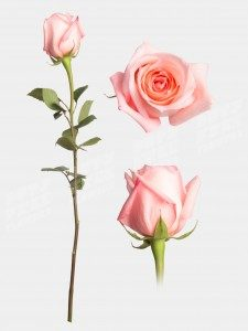 Роза ангажемент 50 см