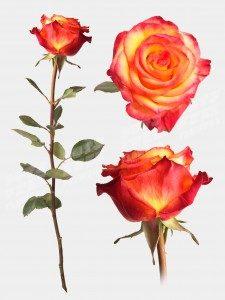 Роза хай меджик 50 см