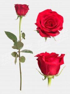 Роза Фридум 50 см