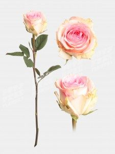 Роза эсперанс 50 см