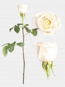 Роза венделла 50 см