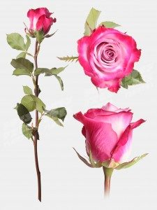 Роза дип пёрпл 50 см